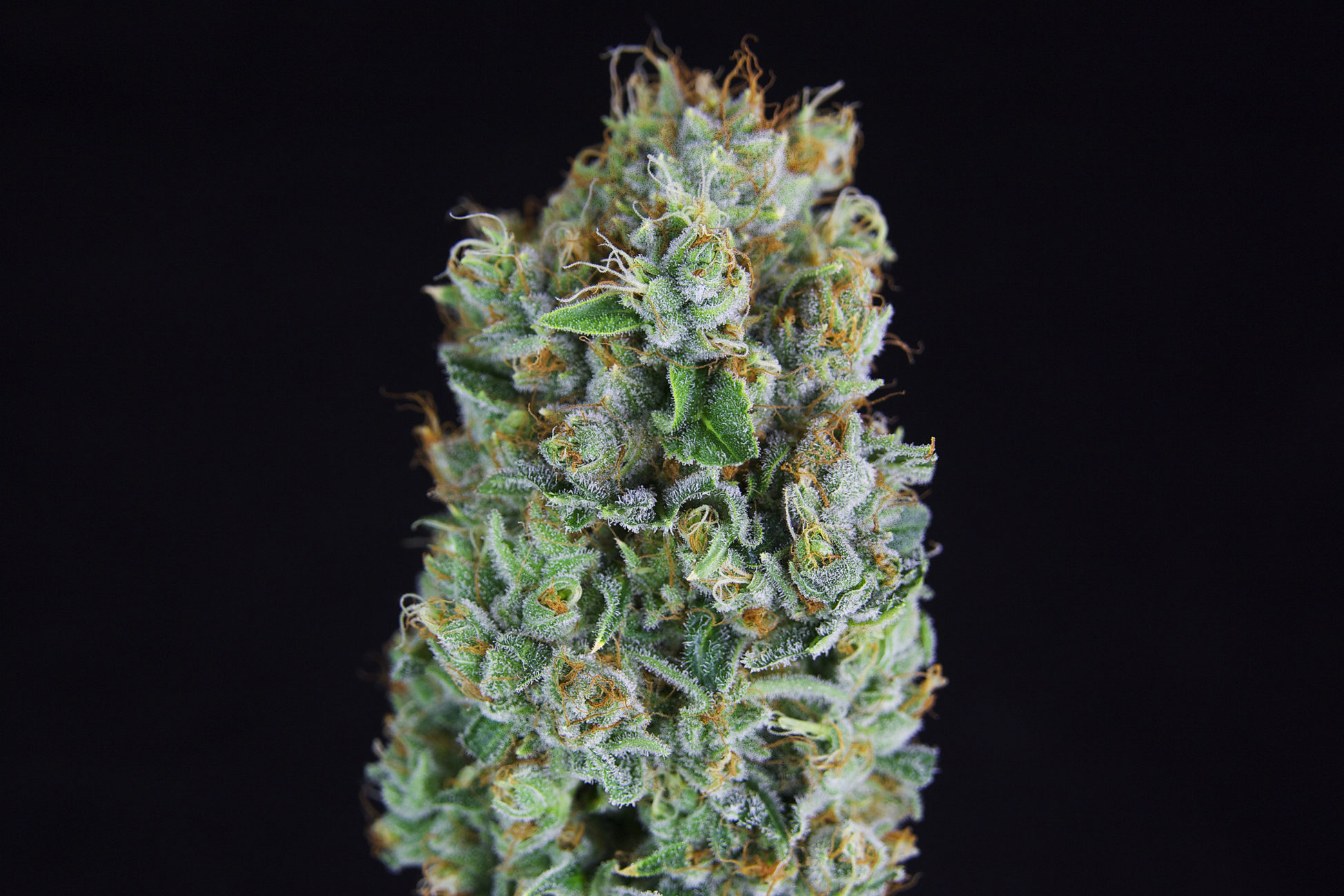 ***TCS Double Tangie Banana*** ($36.00/3.5G, Eighths Only!!!) (S/I – 60/40)